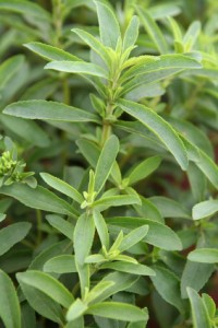 detail of stevia plantation in brazil
